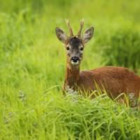 Young-roe-buck-springtime